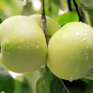 Яблоня Антоновка саженцы оптом купить в Крыму, цены розница и опт
