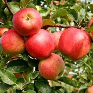 Яблоня Гала Маст саженцы опт и розница, купить яблоню в Крыму