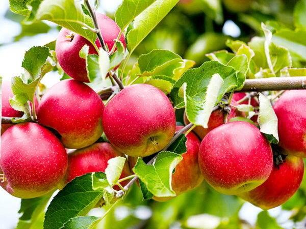 Яблоня Слава Победителям купить саженцы яблони в Крыму, опт и розница