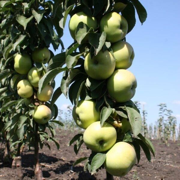 Яблоня Икша колоновидная купить саженцы в Крыму
