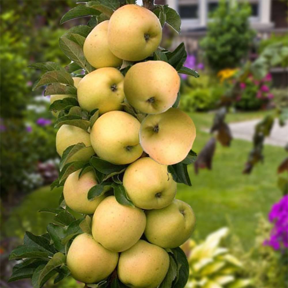 Сорта колонн яблок описание и фото