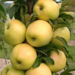 Яблоня Медок колоновидная купить саженцы в Крыму