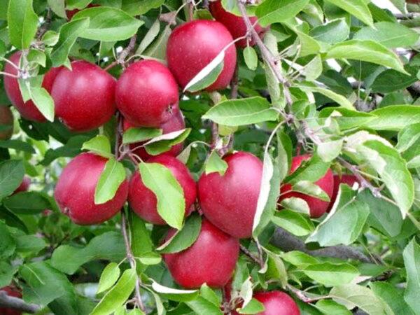 Яблоня глостер купить саженцы оптом в Крыму