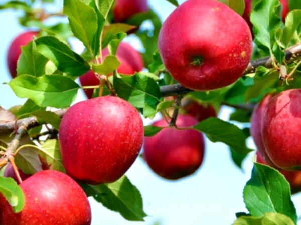 Яблоня Моди саженцы оптом в Крыму купить яблоню