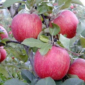 Яблоня Фуджи Кику саженцы в Крыму по оптовой цене недорого