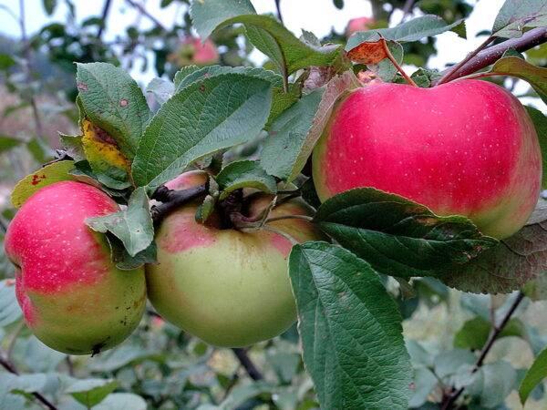 Яблоня Богатырь купить саженцы в розницу и оптом, саженцы в крыму