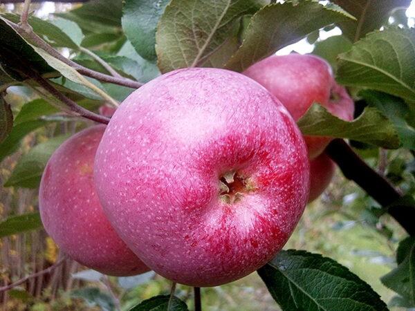 Яблоня Флорина купить саженцы яблони оптовые цены в Крыму