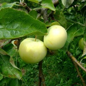Яблоня Белый Налив саженцы по оптовым ценам в Крыму