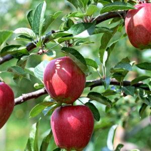 Яблоня Рихард купить саженцы яблони по оптовым ценам в Крыму