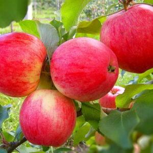 Яблоня Мельба купить саженцы по оптовым ценам в Крыму