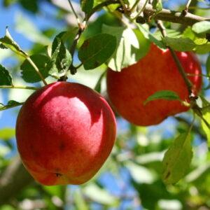 Яблоня Прима купить саженцы в Крыму оптовые цены