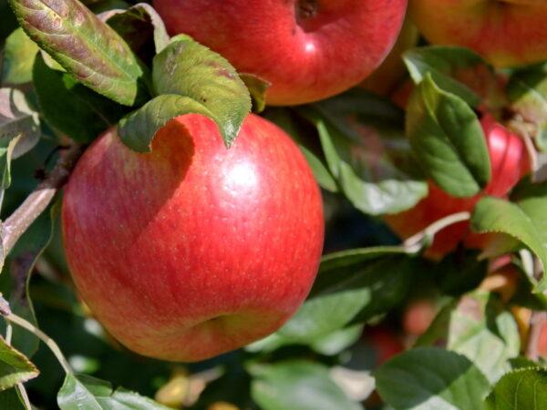 Яблоня Хоней Крисп продажа саженцев яблони в Крыму цены оптовые