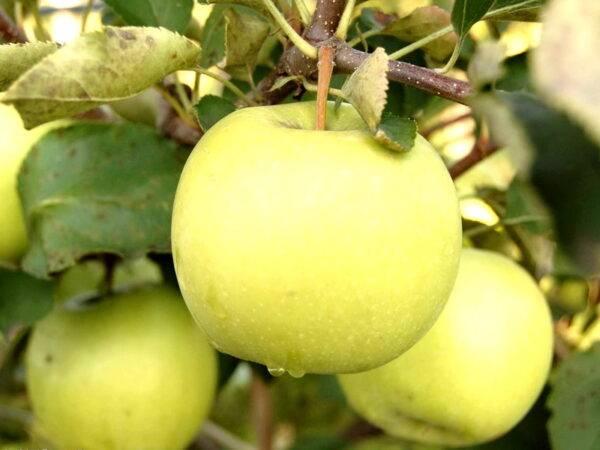 Яблоня Мутсу купить в Крыму опт и розница, цены на Яблоню