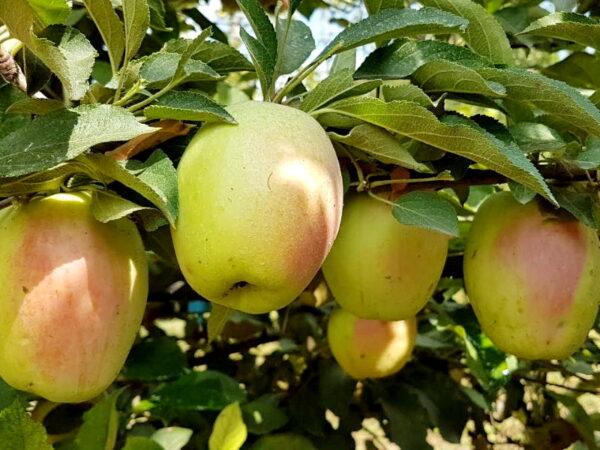 Яблоня Кандиль Синап купить саженцы яблони в Крыму