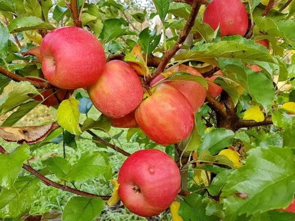 Яблоня Пинк Леди саженцы купить в Крыму оптом и в розницы, выгодные цены на саженцы