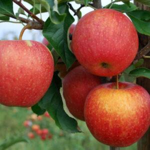 Яблоня Пинова саженцы купить в Крыму по выгодной цене