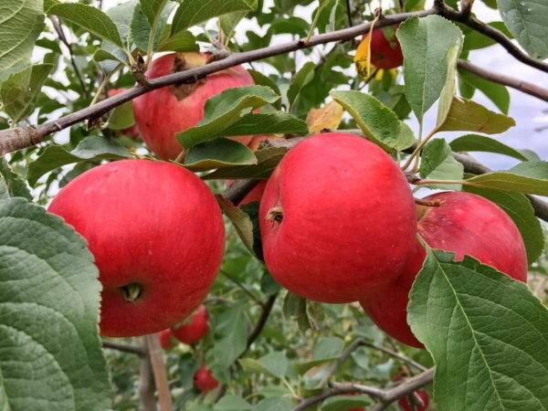 Яблоня Фукутами купить саженцы в Крыму, опт и розница, цены доступные