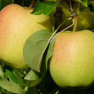 Яблоня Хелиос купить саженцы в Крыму, оптовые и розничные цены на яблони крымские