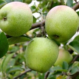 Яблоня Розмарин купить саженцы оптом в Крыму