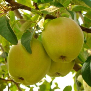 Яблоня Кальвиль Снежный саженцы оптом и в розницу, цены в Крыму